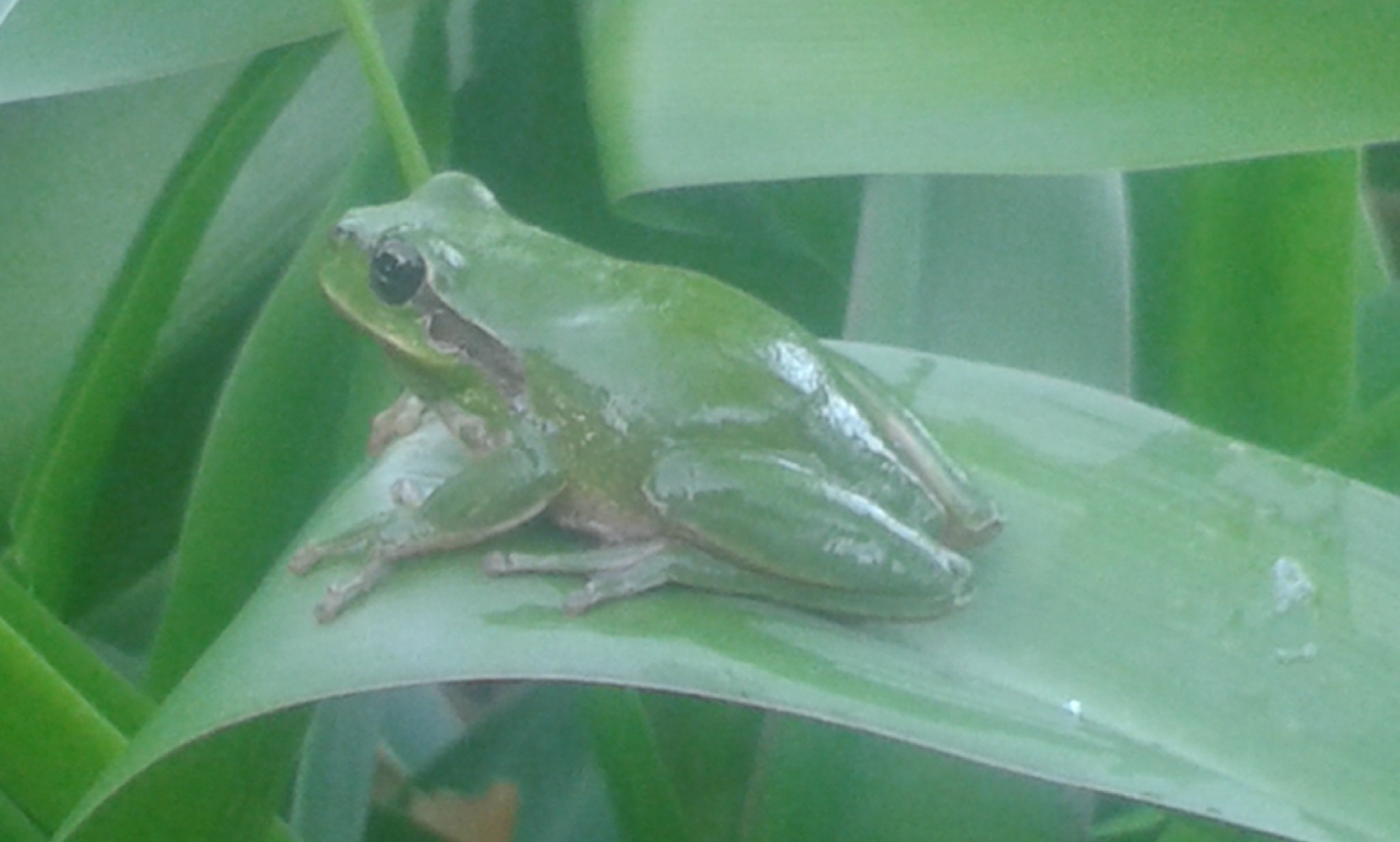 stripeless tree frog