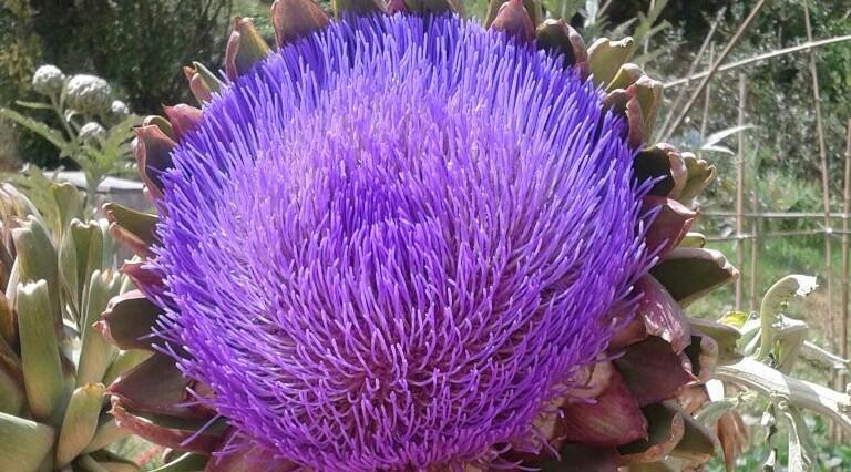 cropped-artichoke.jpg